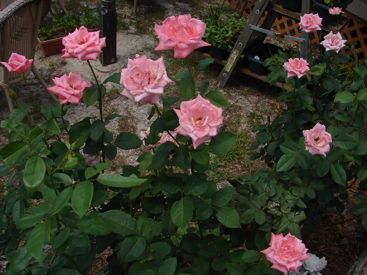 Queen Elizabeth Rose Grandiflora Queen Elizabeth II was born on