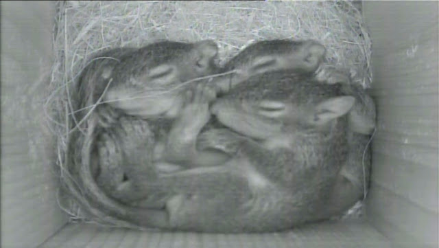 Live Today - Baby Squirrels in Nest Box!