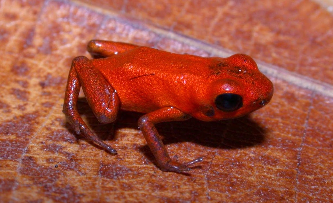 Andinobates geminisae dart frog holotype