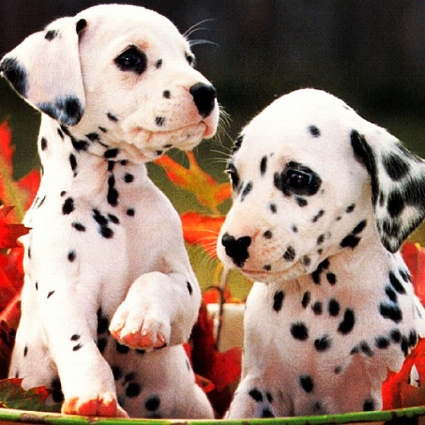 3 Cute Dalmatian puppies