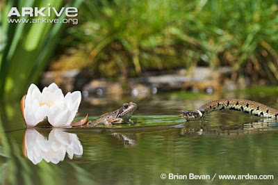 Grass Snake and Common Frog