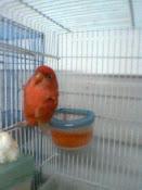 red lovebird