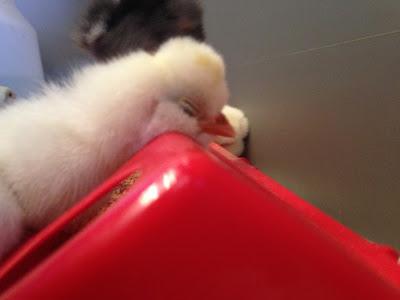 polish chick sleeping on feeder
