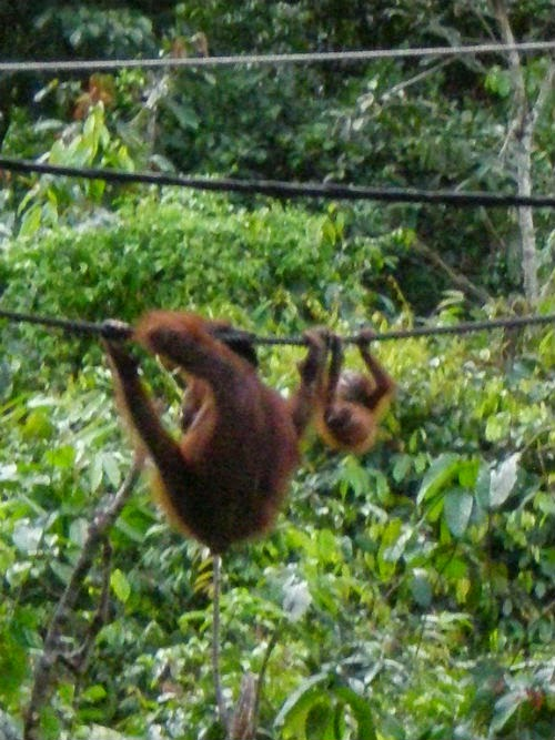 Sepilok Orangutan Centre in Borneo