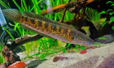 Berbagai Tips Dan Cara Lengkap Membudidayakan Ikan Gabus