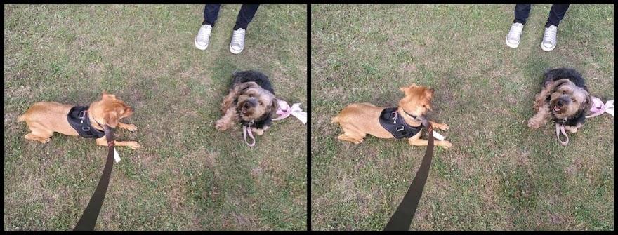 Curro muerde a otros perros, obediencia primero y luego socialización.