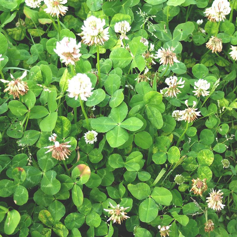 四つ葉のクローバーの写真