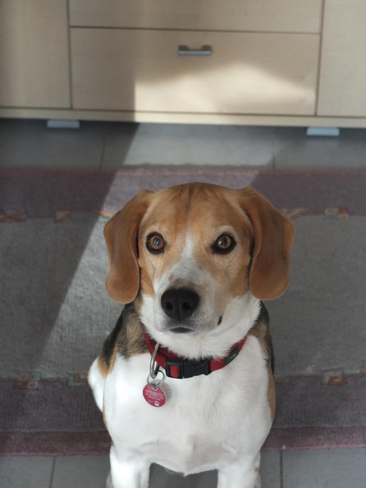 ein beagle auf wanderschaft fr hjahrsputz und speckr llchen wie wiegt man einen beagle. Black Bedroom Furniture Sets. Home Design Ideas