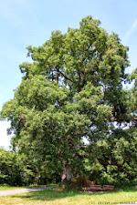 Le chêne Tauzin du Chatelier à Paulmy