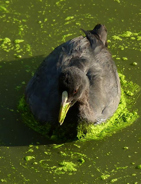 Focha comiendo algas verdes