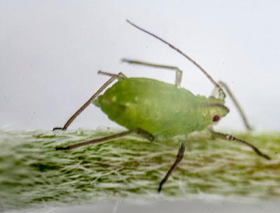 Aphid. (Photo by Jerry Kirkhart)
