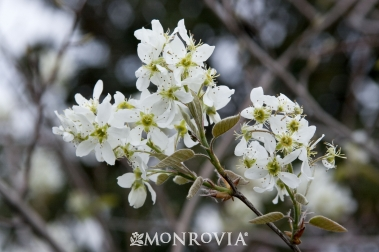 Autumn Brilliance Serviceberry6