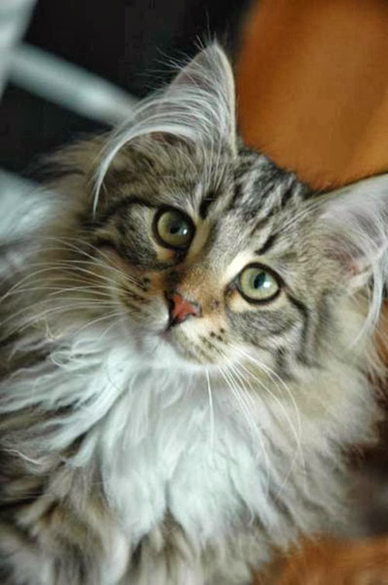 Is Norwegian Forest the largest Cat Breed?