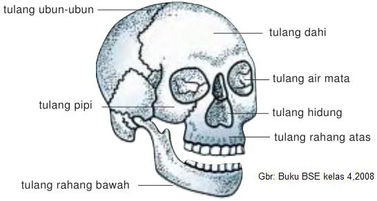 Struktur Rangka Manusia, rangka kepala