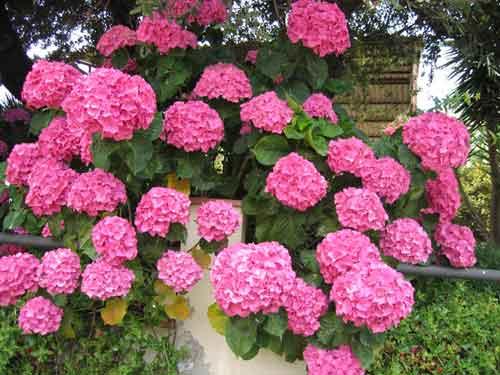 Cuida tu planta c mo cuidar hortensia - Cuidado de las hortensias ...