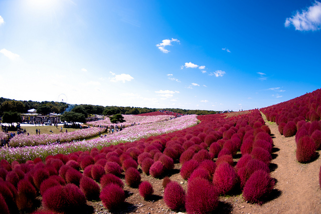 Hitachi Seaside Park http://awesomepics-forever.blogspot.in/