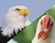 Uma águia ou uma galinha?