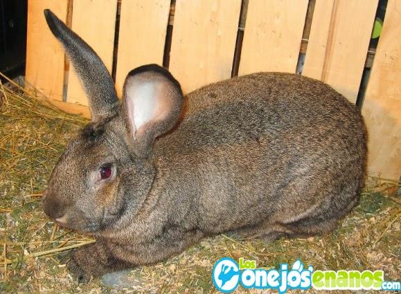 razas de conejos enanos conejo gigante de flandes