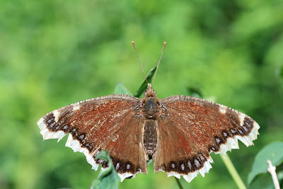 Nymphalis antiopa - Mourning Cloak [A very ragged specimen]