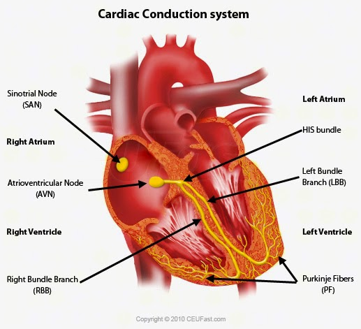 #46 The Heart | Biology Notes for A level