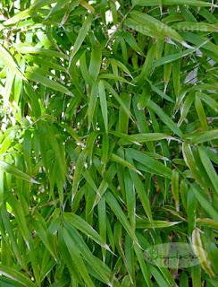 Himalayacalamus porcatus or Nepalese Blue Bamboo