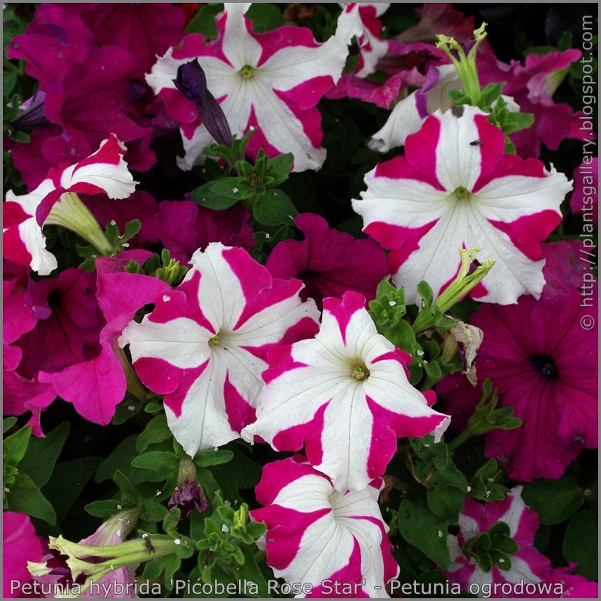 Petunia hybrida 'Picobella Rose Star' - Petunia ogrodowa  'Picobella Rose Star'