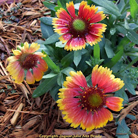 Gaillardia Pulchella Indian Blanket Flower