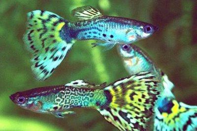 Bienvenidos a mi blog de como decorar y montar un acuario for Peces para peceras pequenas agua fria