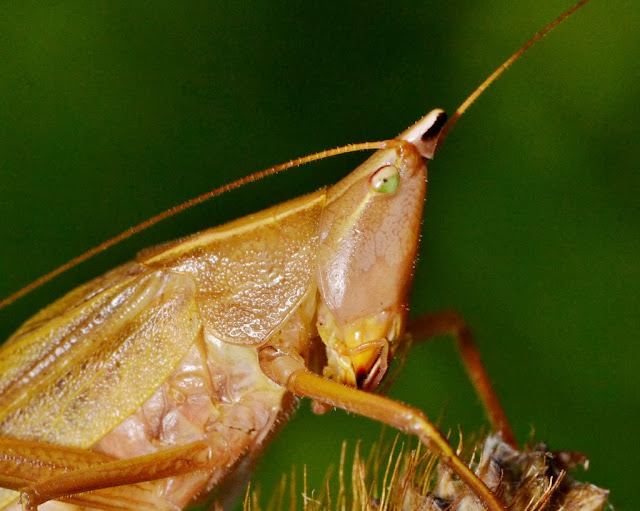 coneheaded katydid with pointed head
