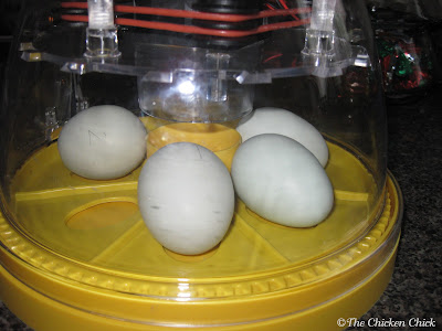 A mere five months into chicken-keeping, I ordered the first of my two Brinsea Advance Mini incubators. Within a short period of time, I outgrew the 7 egg Mini Advance incubators and upgraded to a Brinsea Octagon 20, which holds at least 20 eggs. Hey, it's an addiction, what can I tell ya? :)