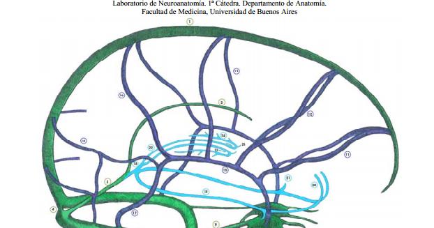 Anatomía 2012 - Ayudante Pablo Prado: Venas Cerebrales
