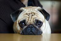 Sonhar com cachorro pequeno