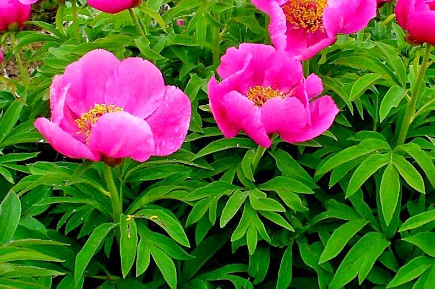Piante e fiori piante perenni che fioriscono in estate a for Piante e fiori perenni