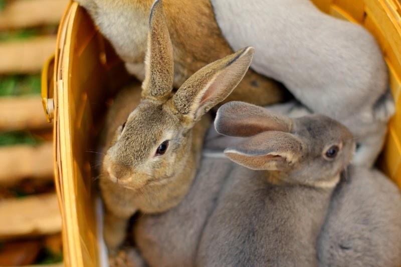 a basket full of Velveteen Lop Mini Rex bunnies