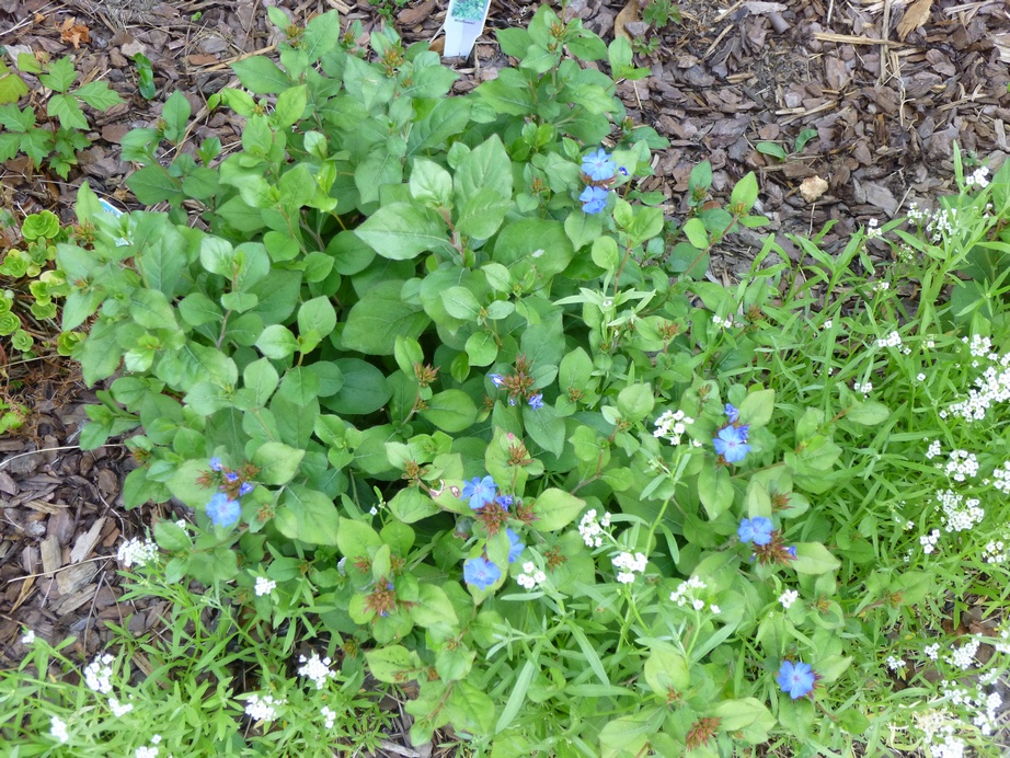 garden of aaron groundcover review  hardy blue plumbago, Natural flower