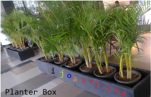 planter box tanaman palem kuning