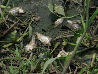 redimenciones mata a peces desechos de ingenio santa rosalia