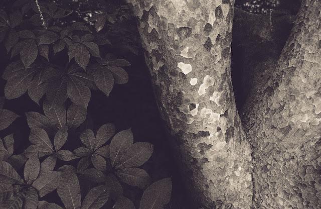 Gentle: London Plane tree and shrub, Wave Hill, Bronx, New York. © 2012 Amber Schley Iragui