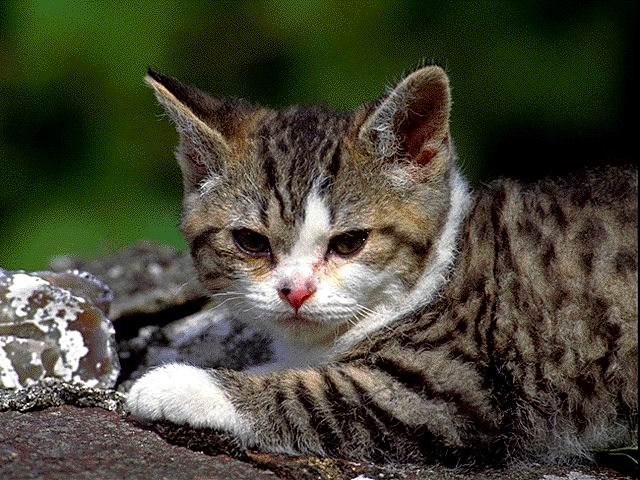 Temperament and Personality of American Wirehair Cat