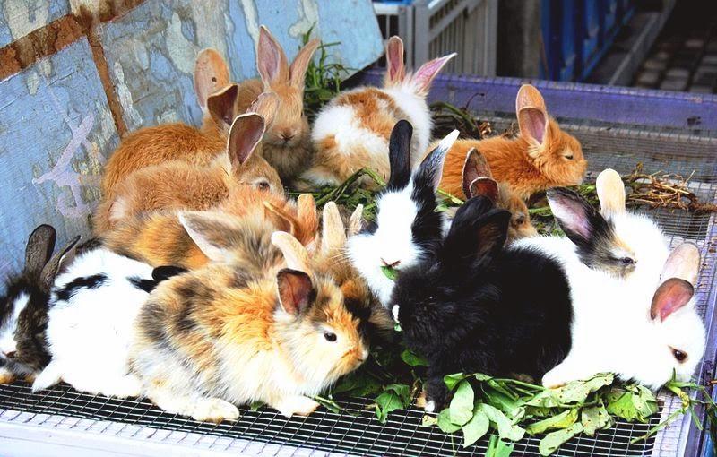ternak kelinci, kelinci hamil, anakan kelinci