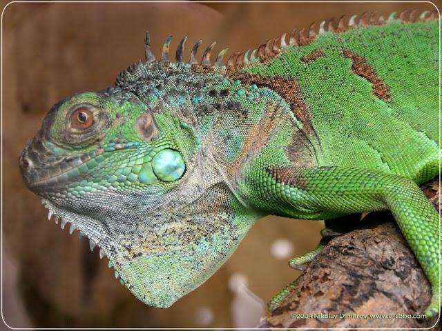 H D Reptiles Wallpaper Desk : Repti...