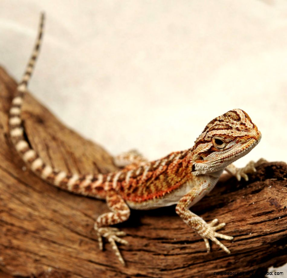 CB RedRed Highlights Bearded Dragon  Pogona vitticeps  PetSolutions