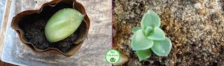 Reprodução de plantas suculentas através das folhas