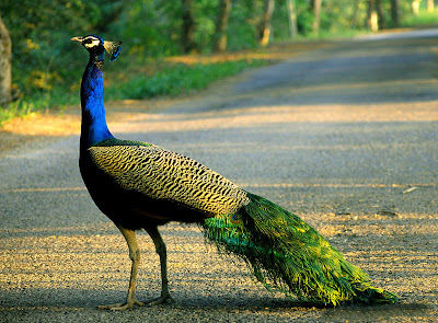 National Bird of India