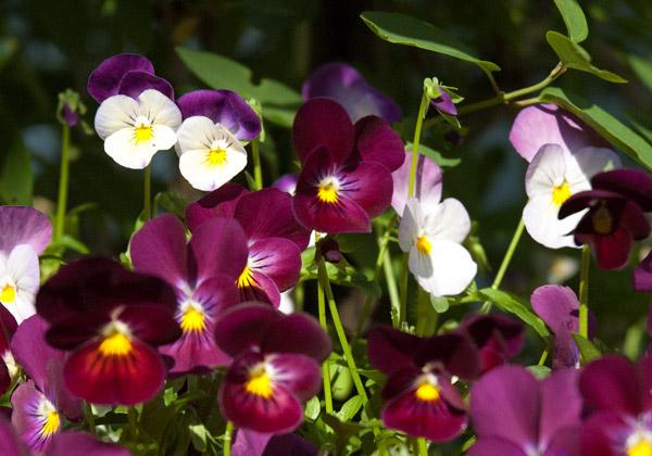 Närbild på penséer i färgerna purpur och vit-lila.