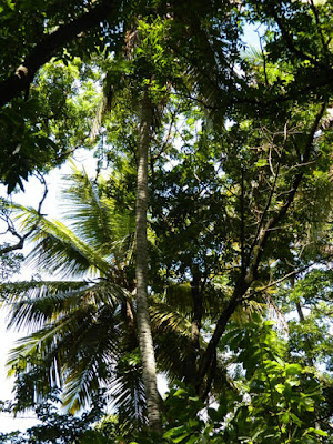 Palms at Diamond Botanical Gardens Soufriere St. Lucia by garden muses-not another Toronto gardening blog