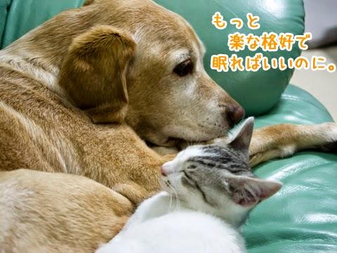 子猫を心配するラブラドール