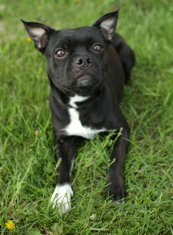 billie jean   boston terrier