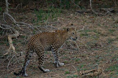 The Leopard walking away - Yala, Sri Lanka