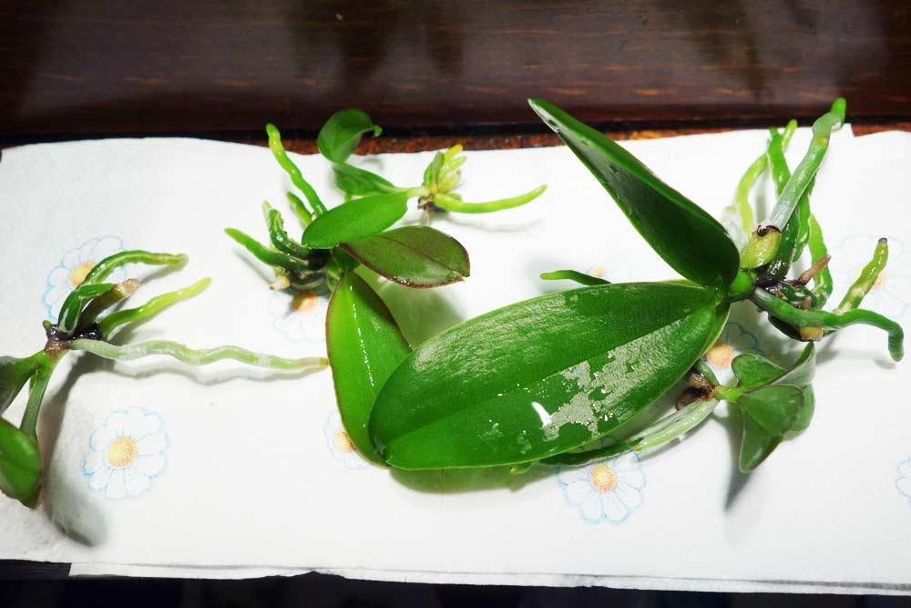Progetto orchidea sfiascamento phalaenopsis 4 for Semi orchidea